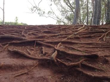So many tree roots everywhere.