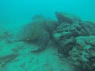 Giant turtle.