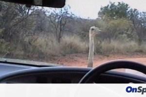 Στρουθοκάμηλος κάνει… κόντρα με αυτοκίνητο (video)