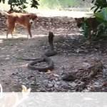 Σκυλιά «πάλεψαν» με βασιλική κόμπρα για να σώσουν τα αφεντικά τους – Δείτε τι συνέβη (vid)