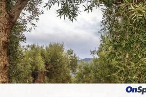 Επιχείρηση «σώστε τα υπεραιωνόβια ελαιόδεντρα» σε Κυκλάδες και Δωδεκάνησα