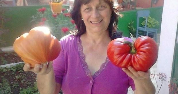 Леля Руми от Сандански ползва много проста рецепта за доматите