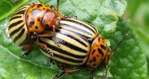 Вече се справям с колорадския бръмбар от раз