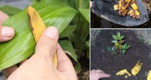 Естествено наторяване на цветята с обелките от банани