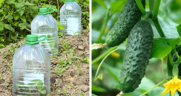 Нов метод - краставици в бутилки удобно и целесъобразно