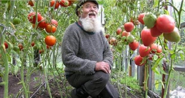 7 правила които знам от дядо ми за богата реколта от домати