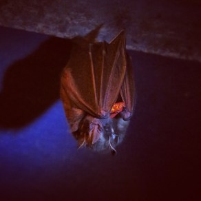 Feeding time at the Bat Jungle in Monteverde