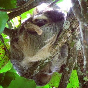 Sloth momma and babe