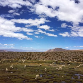 Llamas grazing at 12,000ft