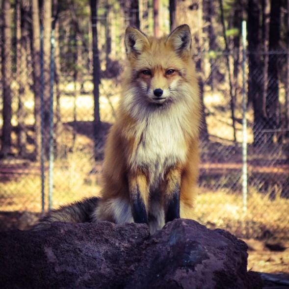 Red Fox at Bearizona, Williams, AZ