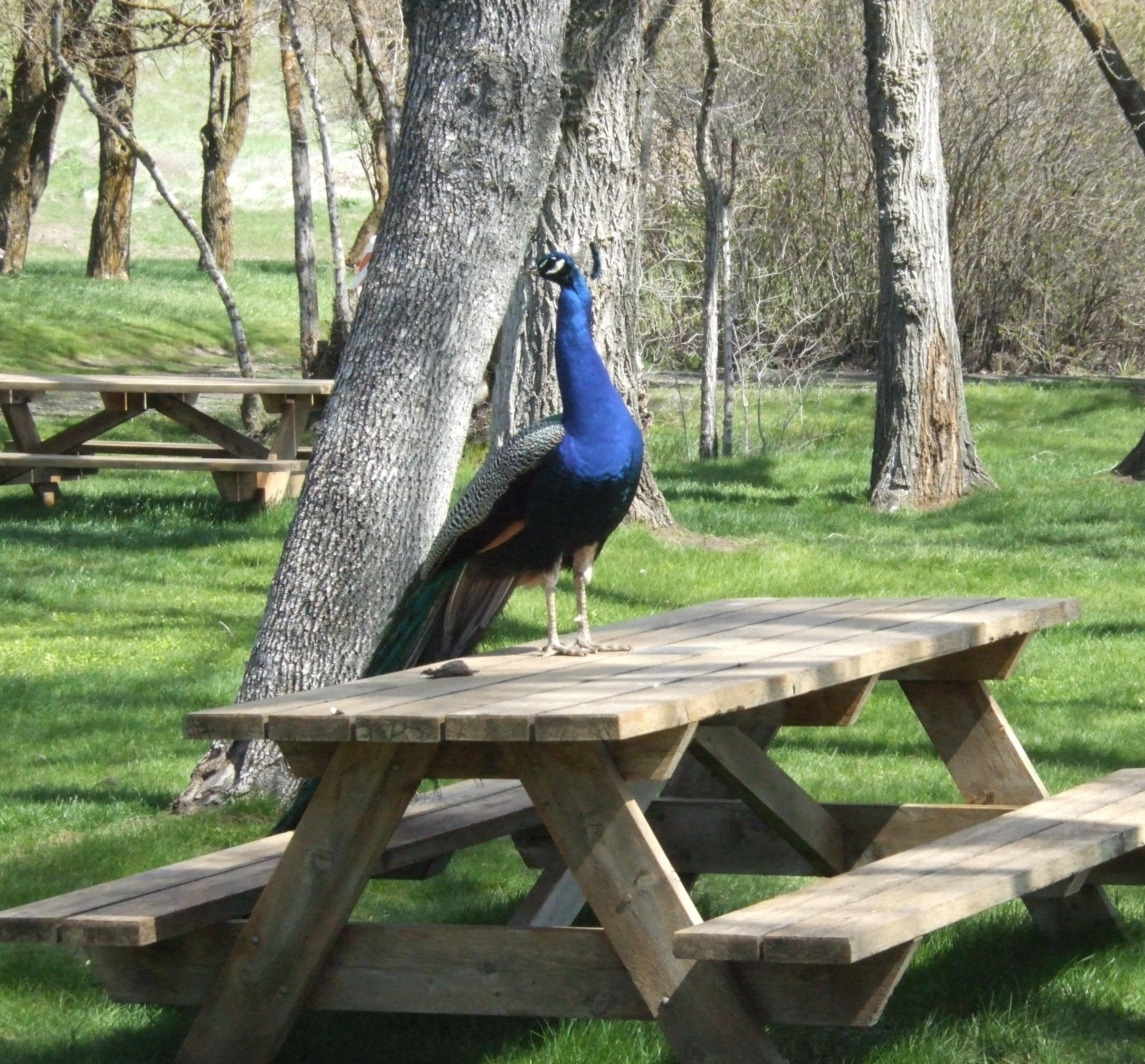 Peacock's personal table
