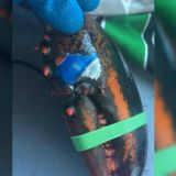 El hallazgo de la langosta con el logo de Pepsi, se da en medio de una creciente preocupación debido a la alta contaminación de los mares por desechos humanos, sobre todo, plásticos.