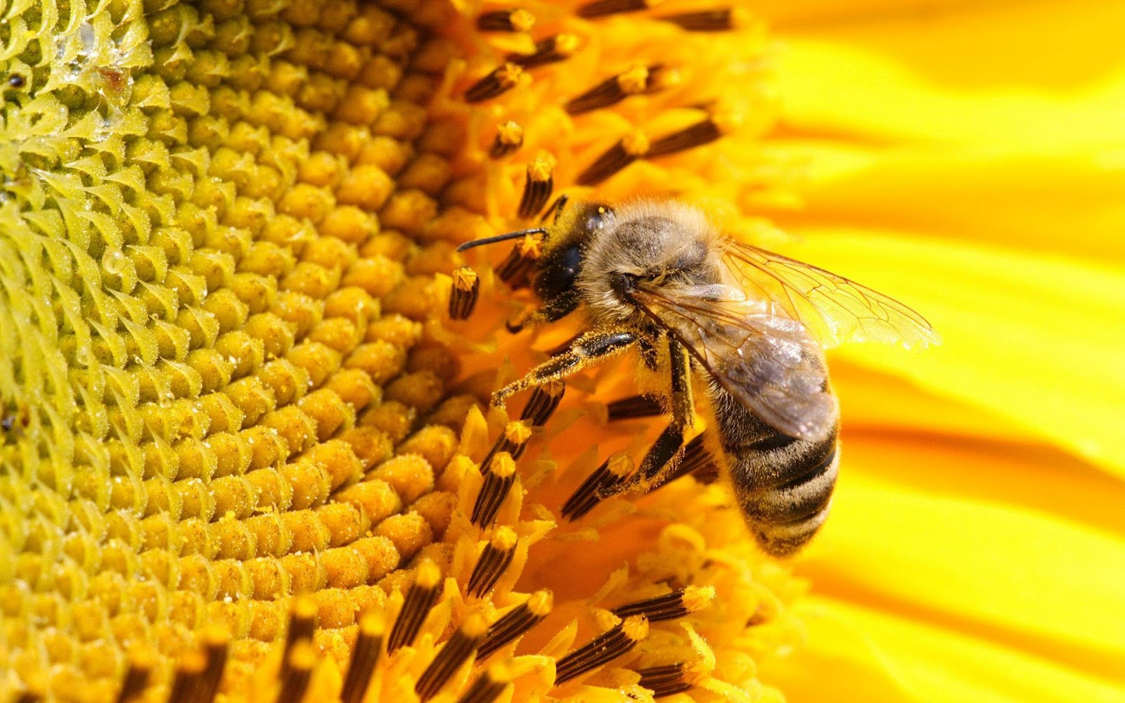 ¿Qué ocurriría si desaparecieran las abejas?