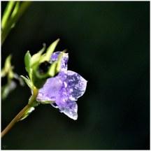 Glockenblume nach dem Regen | 365tageasatzaday