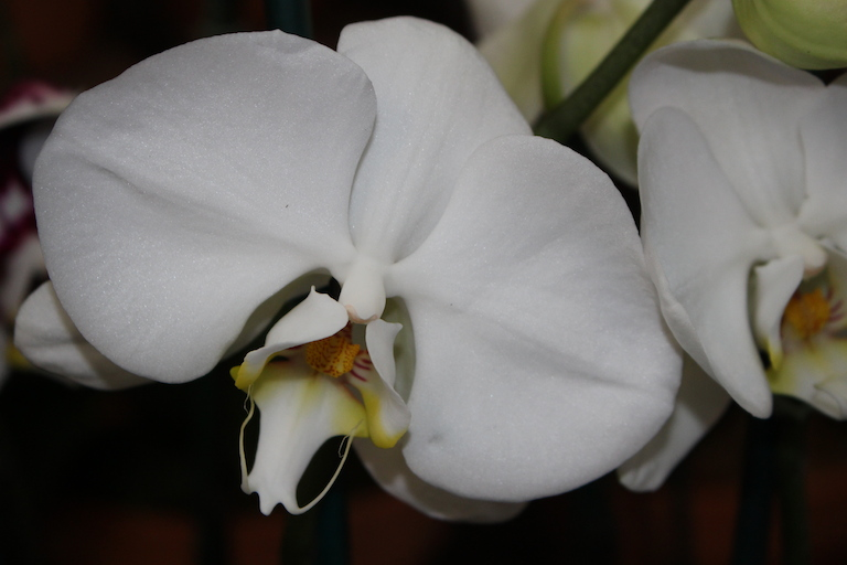 Phalaenopsis Orchids In Boulder CO