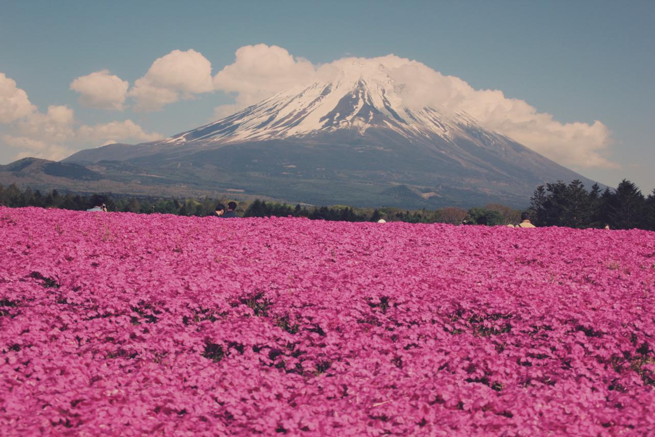 enjoyablesquares: Mar de pétalas: Fuji ea phlox musgo.