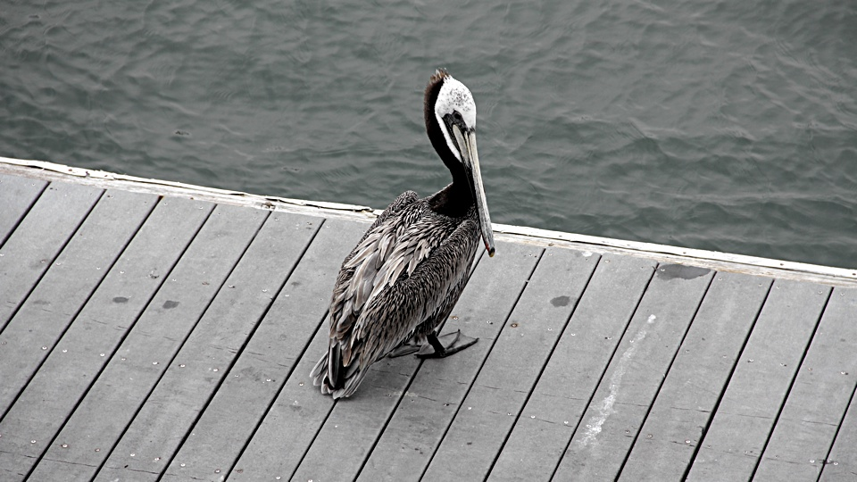 Pelican, a long-beaked saltwater chicken