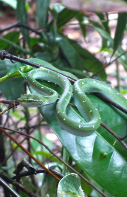 A snake seen near the MacRitchie reservoir on Singapore (probably a Wagler's pit viper Tropidolaemus wagleri, see Figures 5 & 6 at http://www.ecologyasia.com/verts/snakes/waglers_pit_viper.htm).  Photo by Erik S. Peterson colorjedi.tumblr.com