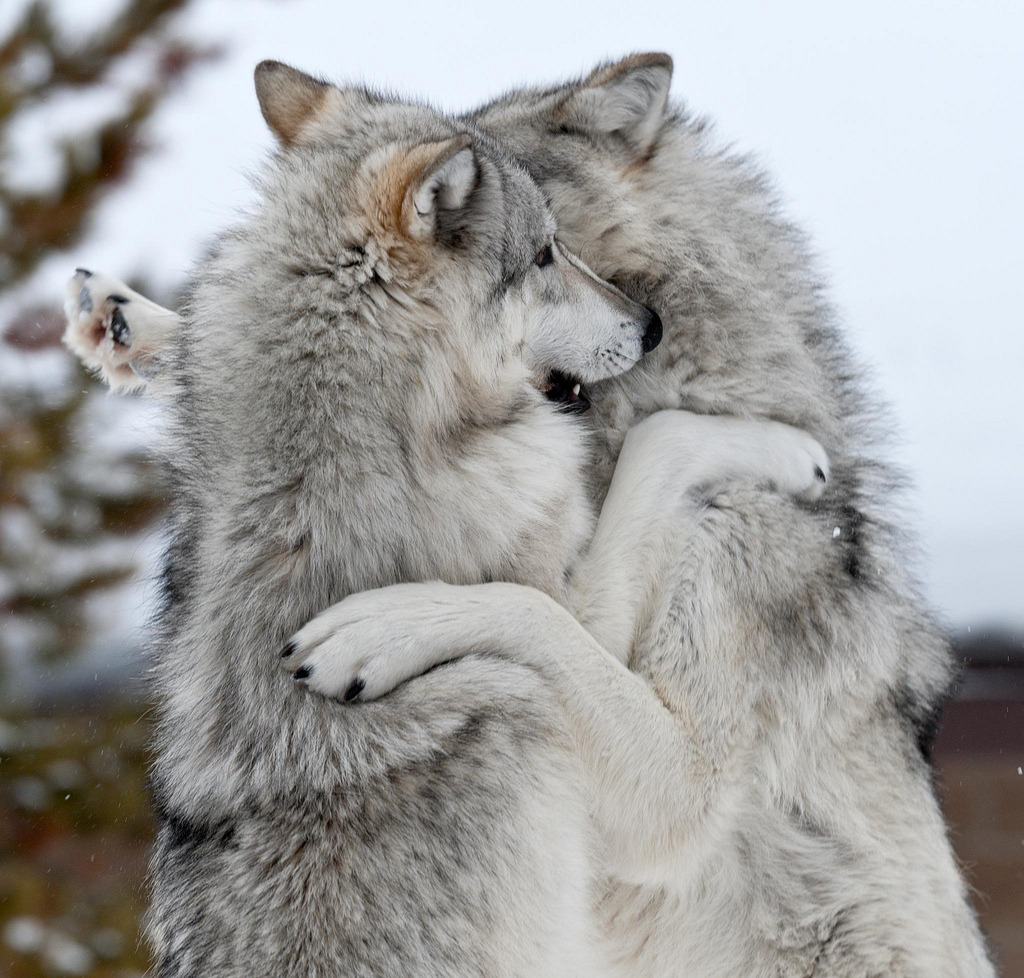 Image result for images of wolves in winter