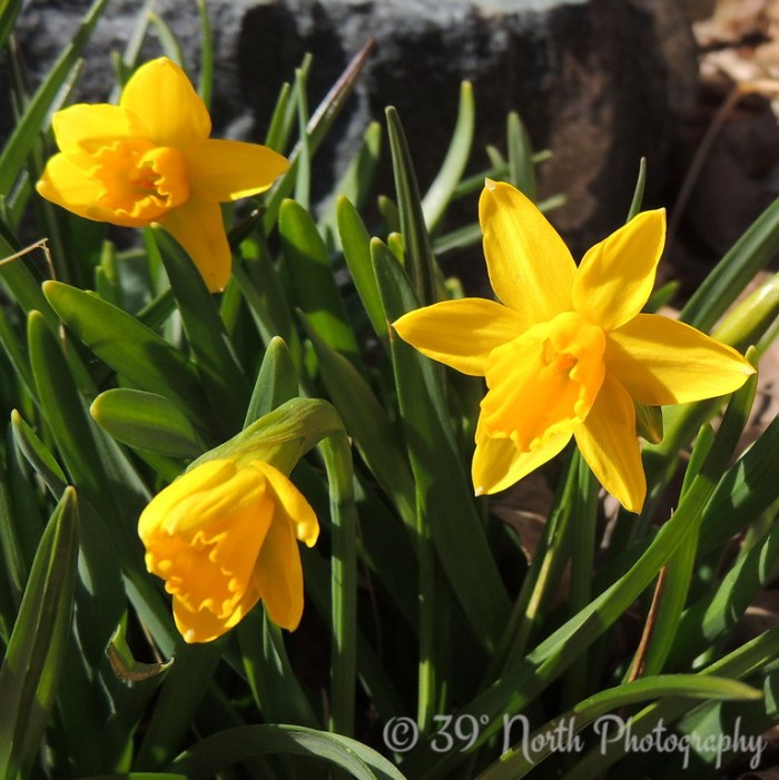 jonquils after the snow