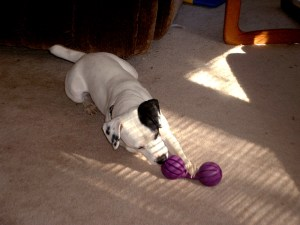 Brody & his Busy Buddy dog toy