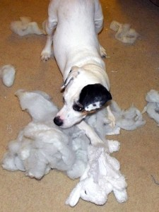 Jack Russell Destroying a Dog Toy