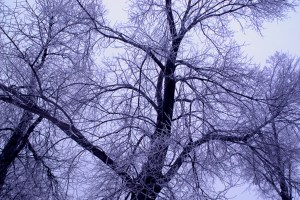 Trees against the winter sky