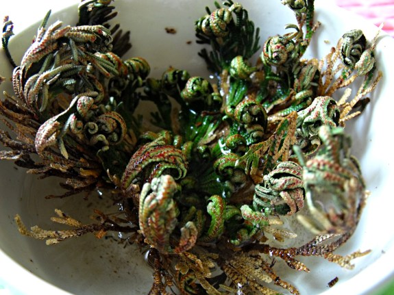 Resurrection Plant- Rose of Jerico