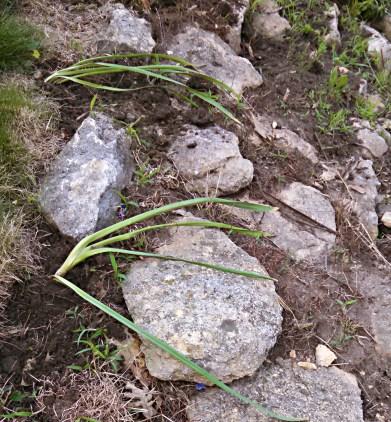 Newly transplanted daffodils