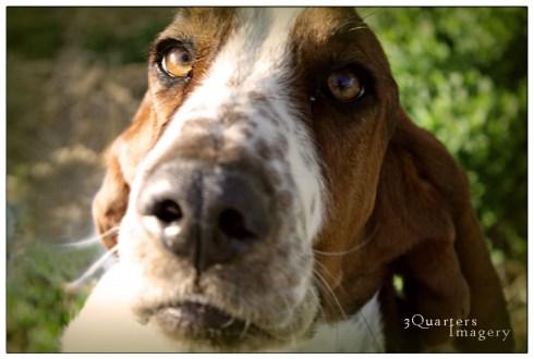 Romeo the Basset Hound