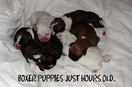 Boxer puppies hours old