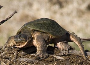 Common_Snapping_Turtle_1429