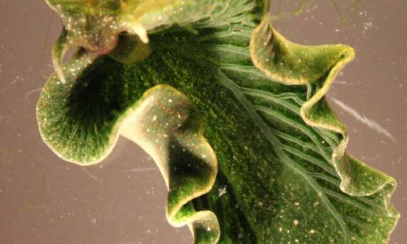 Solar powered sea slugs shed light on search for perpetual green energy
