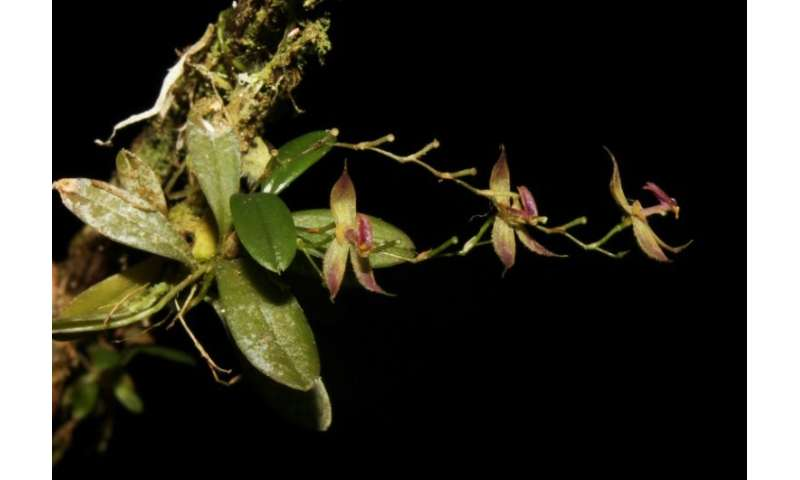 therecentlyd - New species of orchid discovered in Peruvian jungle