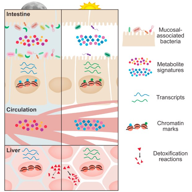 Microbiome in a low fiber diet