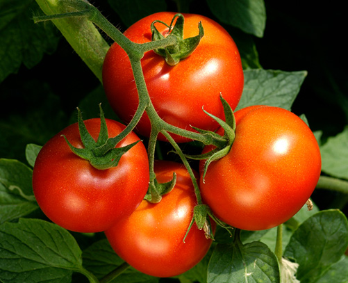 Image result for BEST TOMATOES