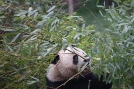 Giant Panda Research Base10