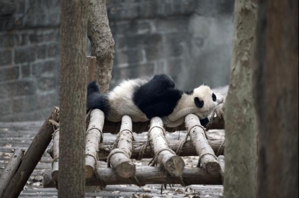 Giant Panda Research Base5