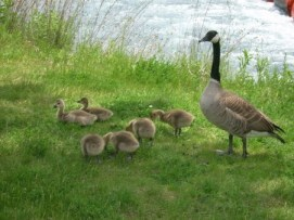 Mother Goose 4