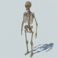 Human Skeleton 3D Model - Realtime