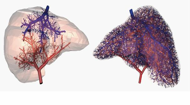 Vascular Network of the Human Liver