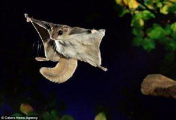 southern-flying-squirrel1