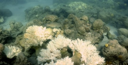 Bleached soft corals