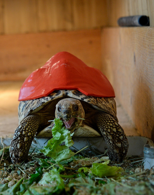 Cleopatra, a tortoise gets a 3d printed shell