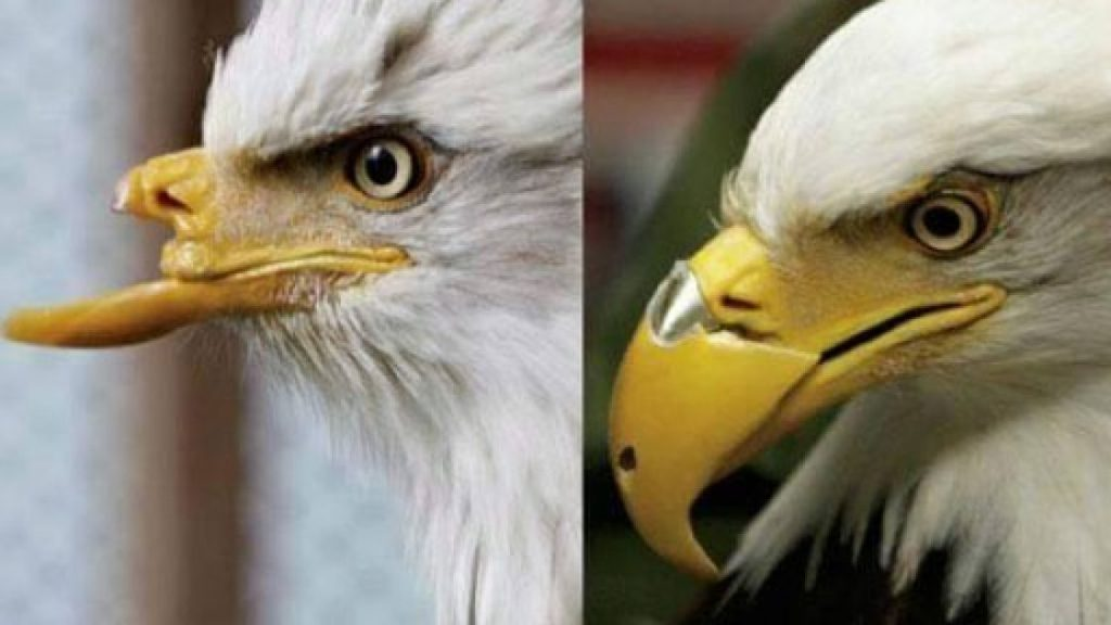 Beaty, a bald eagle gets a 3D printed beak