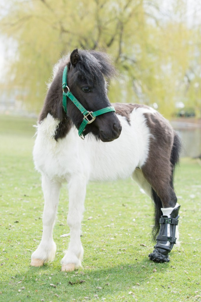 A miniature horse gets a 3D printed prosthetic leg