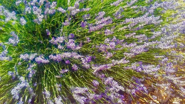we love mahmutlar lavendar field trip20