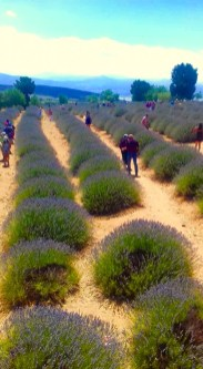 we love mahmutlar lavender field trip3