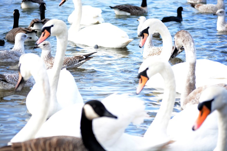 wildfowl at cosmeston lakes - 3 eyed raven productions ultimate location guides