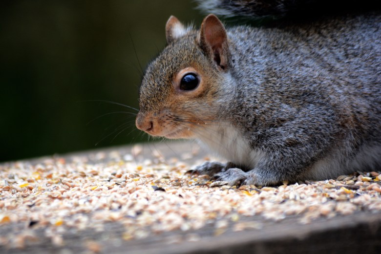 CHEEKY SQUIRREL AT COSMESTON LAKES, 3 EYED RAVEN ULTIMATE GUIDE TO BARRY